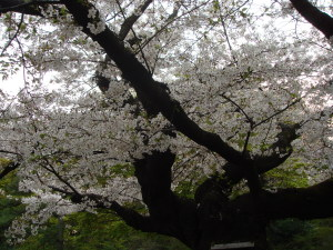 一昨年の桜@六義園
