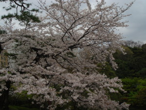 一昨年の桜@八芳園