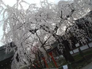 魁桜@平野神社