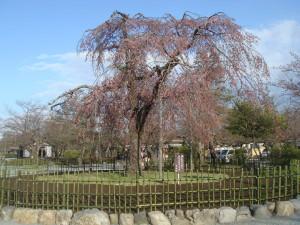 桜@渡月橋周辺3