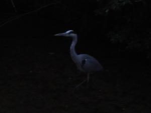 京都で見かけた鳥2