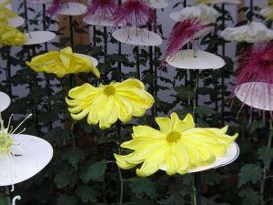 菊花壇15