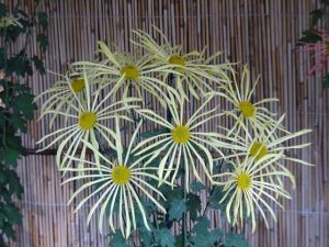 菊花壇17