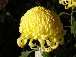 菊花壇19