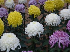 菊花壇20